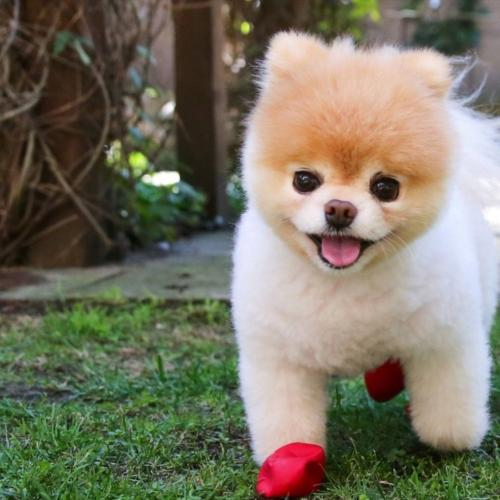 Boo The Pomeranian Aka The 'World's Cutest Dog' Has Died