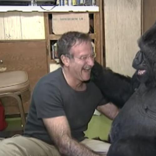 Famous Gorilla Koko Dies At 46