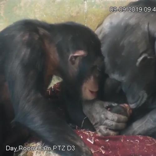 Chimpanzee Mum So In Love With Her Newborn At Monarto Zoo