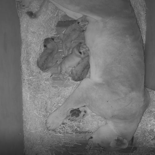 Monarto Zoo Welcomes Four New Lion Cubs