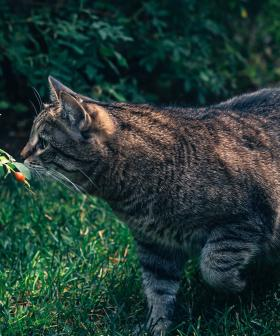 Adelaide Hills Council Will Set Up Cameras To Spy On Your Cat