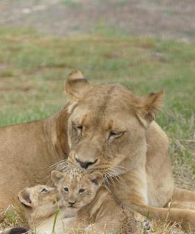 In Cute News: The Lion Cubs At Monarto Are Starting To Some Big, Wobbly Steps!