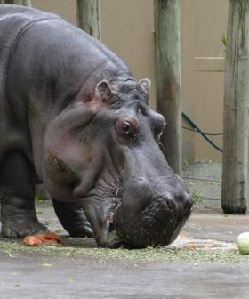 Australia's Oldest Hippo Dies At Adelaide Zoo, Aged 54