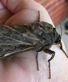 Sightings Of These Giant Rain Moths On The Rise In Adelaide Following Recent Downpours