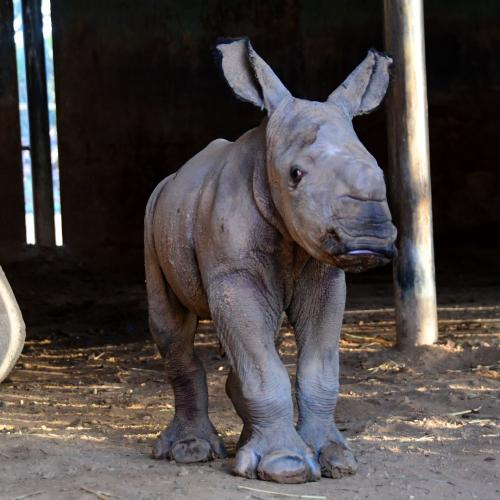 Monarto Has Welcomed A New Baby Rhino And It's So Cute!