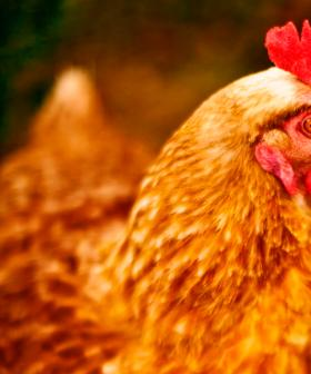 PETA Has Requested A Roadside Memorial For Chickens Killed In Freeway Truck Accident