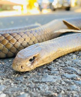 In Case You Forgot How Terrifying Australia Is, Snakes Are Slithering Into Families Pool