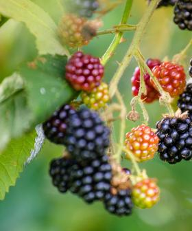 Potentially Deadly Blackberries In SA's Bush Trails