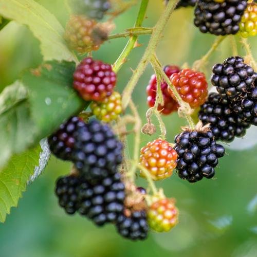 Potentially Deadly Blackberries In SA's Bush Trails
