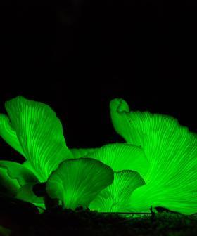 Natural Phenomenon Illuminates Ghost Mushrooms In Mount Gambier