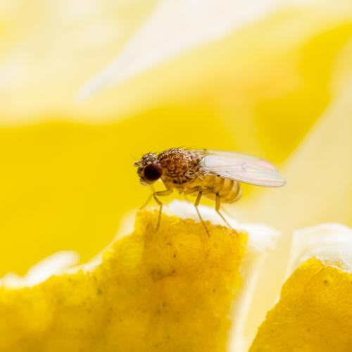 Fruit Flies Are Emptying Our Wallets With $4.1m In Fines Dished Out